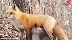 روباهی که به توله خرس های بی مادر شیر داد