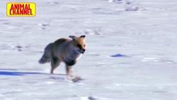 صحنه های بسیار جالب و دیدنی از شکار میمون خرگوش.روباه. سوسمار کبوتر توسط عقاب