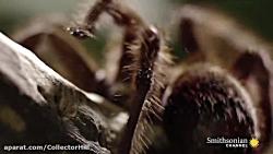 صحنه ای بسیار جالب و دیدنی از شکار مارمولک توسط عنکبوت