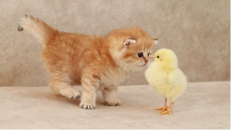 کلیپ گربه های بامزه / بچه گربه و جوجه کنار هم