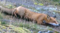 صحنه های بسیار جالب و دیدنی از شکار انواع حیوانات وحشی توسط روباه