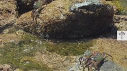 صحنه ای بسیار جالب و دیدنی از شکار کاملآ حرفه ای خرچنگ توسط هشت پا