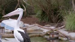 صحنه ای بسیار جالب و دیدنی از غذا دادن به پلیکان در باغ وحش
