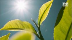 از دستان ما برای جهانیان  چای سیلان