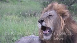 صحنه های بسیار جالب از شکار های انواع حیوانات در شرایط های مختلف توسط شیر
