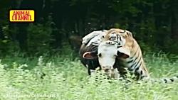 صحنه های بسیار جالب و دیدنی از شکار گاو گراز پلنگ آمریکایی آهو توسط ببر بنگال
