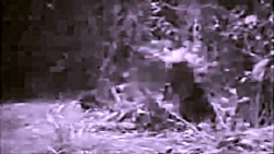 درگیری خرس و کفتار
