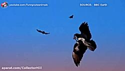 صحنه های بسیار زیبا و جالب از شکار سلطان آسمان ها عقاب