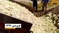 چرا شیراز مرغ ندارد؟