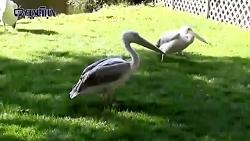 پلیکانِ ماهیخوار چگونه کبوتر رو شکار کرد؟!!!