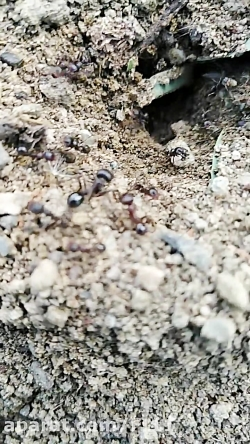 کلونی مورچه ها جالب