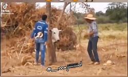 دل وقتی برای یک گاو میسوزونی