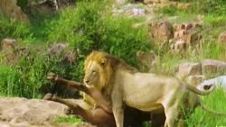 حمله شیرها به گاومیش
