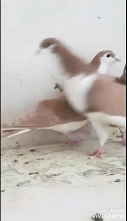 کبوتر زرد زیبا