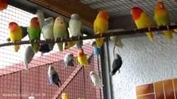 طوطی برزیلی  :فالو = فالو