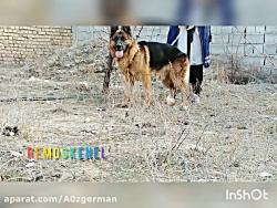 سگ ژرمن شولاین