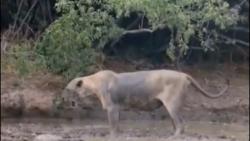 مستند شیر وحشی افریقای...