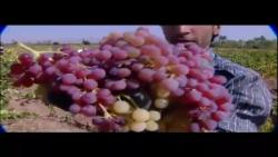 کار آوا آذری: انگور (چید...