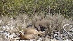 تعقیب و شکار گوزن توسط اژدهای کومودو