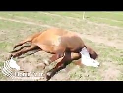 تولد کره اسب ( پرورش اسب و زایمان اسب )