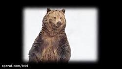 خرس قطبی یا خرس گریزلی؟كدام قویترند؟