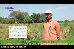 افزایش 2 برابری عملکرد برنج با مصرف کودهای کلاته خضراء