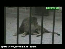 معجزه الهی - شیرمی گوید الله