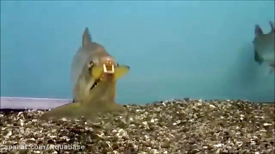 10 ماهی آکواریومی بسیار مهاجم آب شیرین