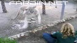 حمله ببر سفید به انسان