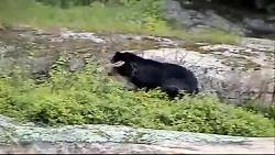 شکار بچه گوزن توسط خرس سیاه