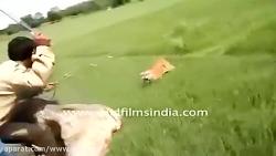 حمله ببر به فیل و انسان