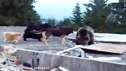 چند سگ دربرابر خرس قهوه ای. در رمانی