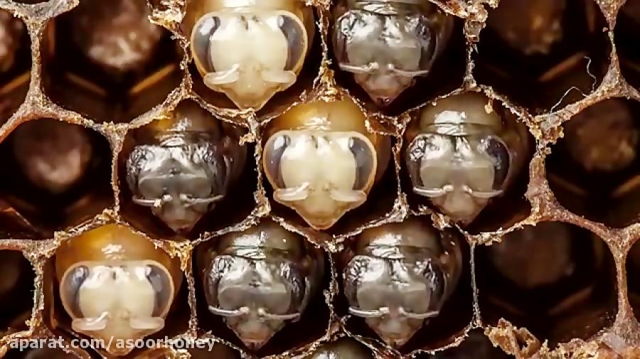 زنبور ها چگونه متولد میشوند ؟