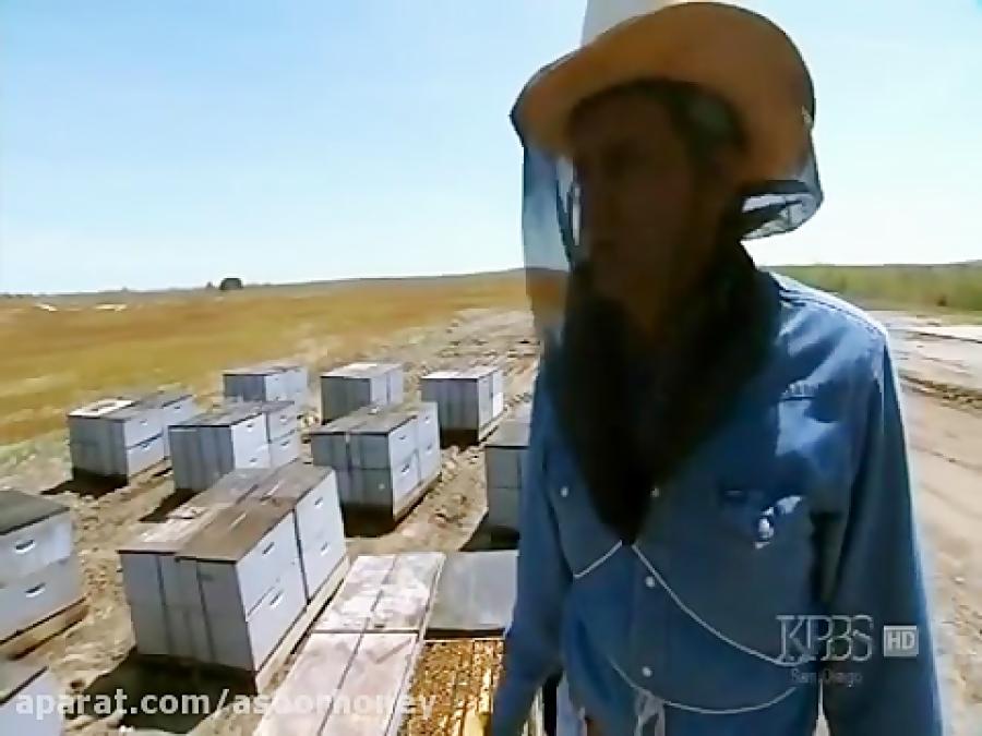 مستند زدگی زنبور عسل و چگونگی تشکیل عسل