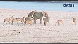 حمله 14 شیر به یک فیل