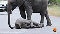 گله ایی فیل را تماشا کنید