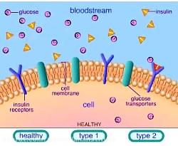 مکانیسم نرمال دیابت نوع 1 و 2