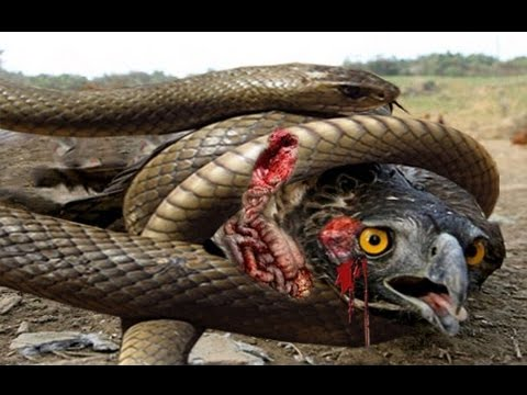 picture of king cobra snake