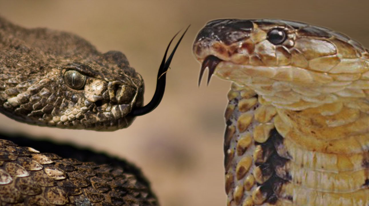 show the picture of king cobra