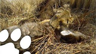 افسونگر شیرها: نخستین شکار یک شیر