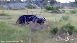 شکار بوفالو توسط 2 ماده شیر - حیات وحش Fardin.Net