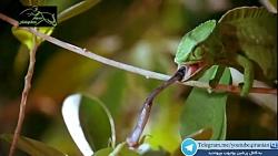 تبدیل آخوندک شکارچی به شکار آفتاب پرست - حیوانات