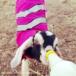 شیر خوردن بزغاله تازه متولد شده فوق العاده دوست داشتنی