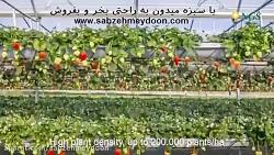 پیشرفته ترین گلخانه کاشت توت فرنگی
