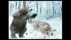 نبرد خرس و ببر.ساختگی