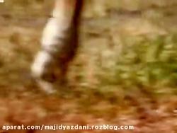 مستند حیوانات جنگل آفریقا (قسمت2)شکار شیرها