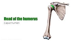 Humerus Bone - Anatomy, Definition