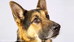 Rumor the German shepherd wins best in show at Westminster