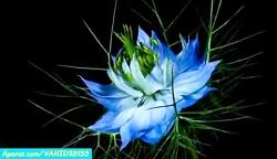 لحظه زیبای شکفتن گل ها ...