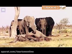 فیلها هم سوگواری می کنند!